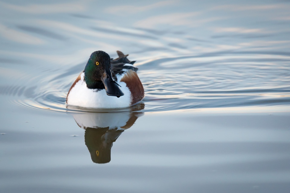 duck photography mike ince