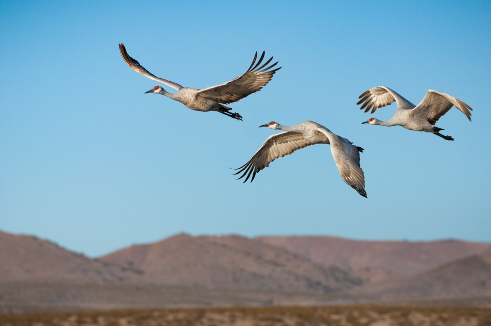 canadian geese bird photography