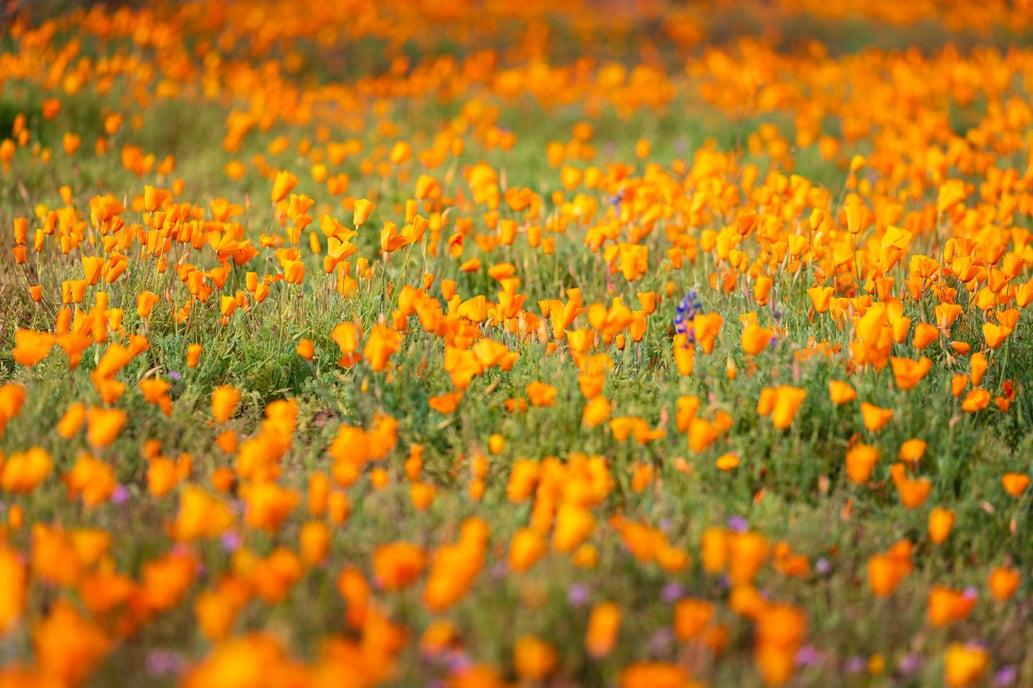 arizona-wildflower-photography-3